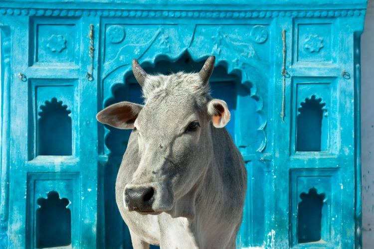 Indian holy cow